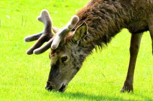 READER'S PHOTO: a deer snapped on the Quantocks by Andy Linthorne
